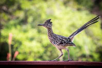 roadrunner-bird-wildlife-nature-158097.jpeg